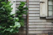 Vintage siding behind fig plants and metal outdoor seating.