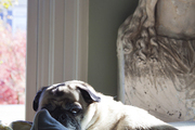 A pug resting in the sun on a mountain of throw pillows
