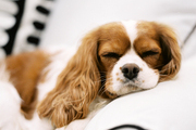 A Cavalier King Charles Spaniel sleeping on a white couch