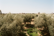 Olive groves in Morocco