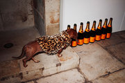 A curious pooch surveys empty bottles of champagne