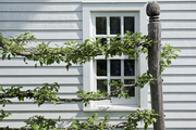 A detailed view of an espaliered apple tree
