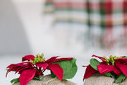 A detail of poinsettias on a table.