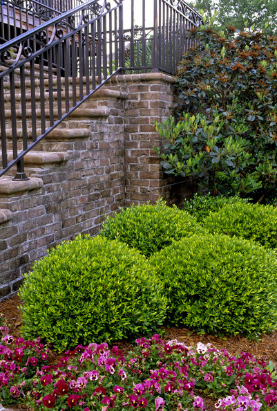 Ilex Vomitoria Nana Photos Design Ideas Remodel And