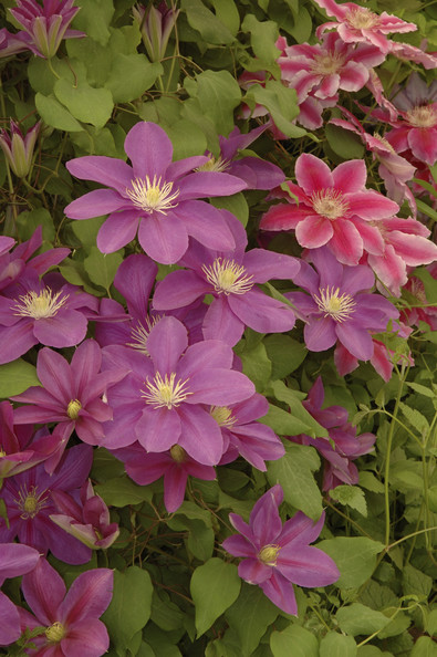 Clematis Photos (1 of 15)