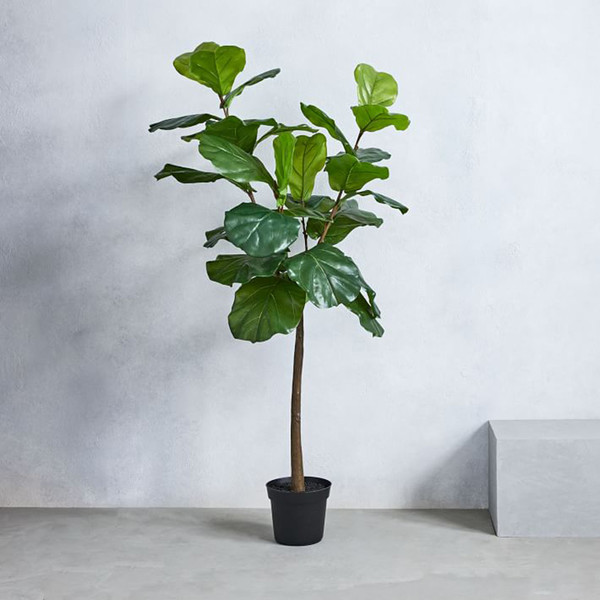 Not-So-Fickle Fiddle Leaf Fig